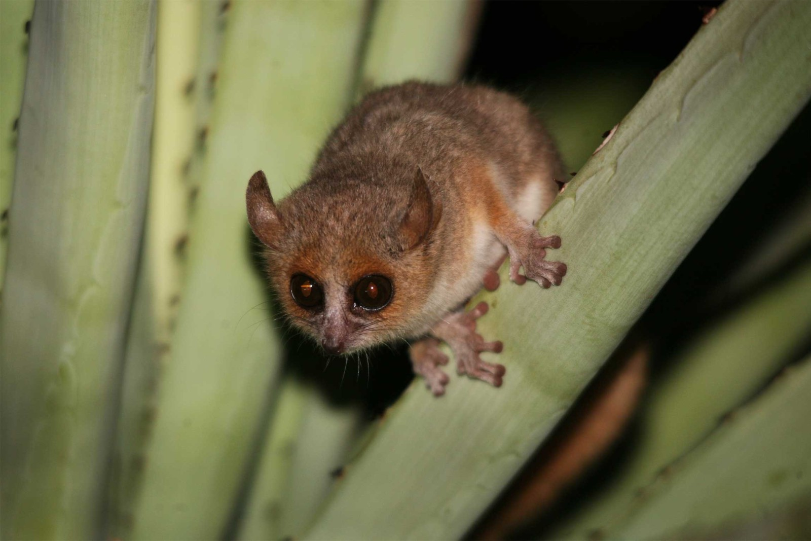 Madagascar-Tours-Magnificent-Wildlife-and-Landscapes_Grey-mouse-lemur