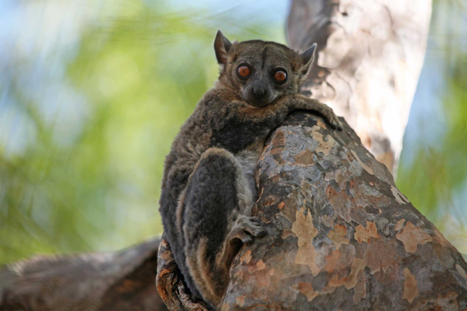 Madagascar-Tours-western-Madagascar_red-tailed-sportive-lemur