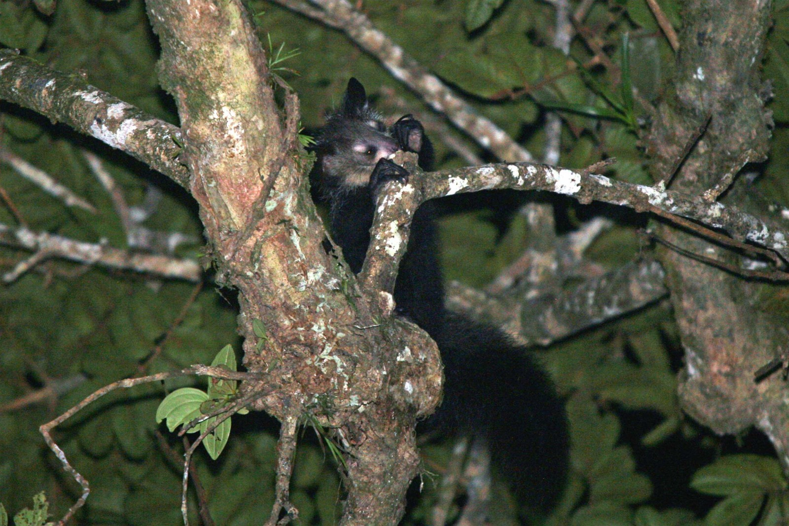 madagascar-wildlife-tours_tour_aye-aye-and-i_-aye-aye