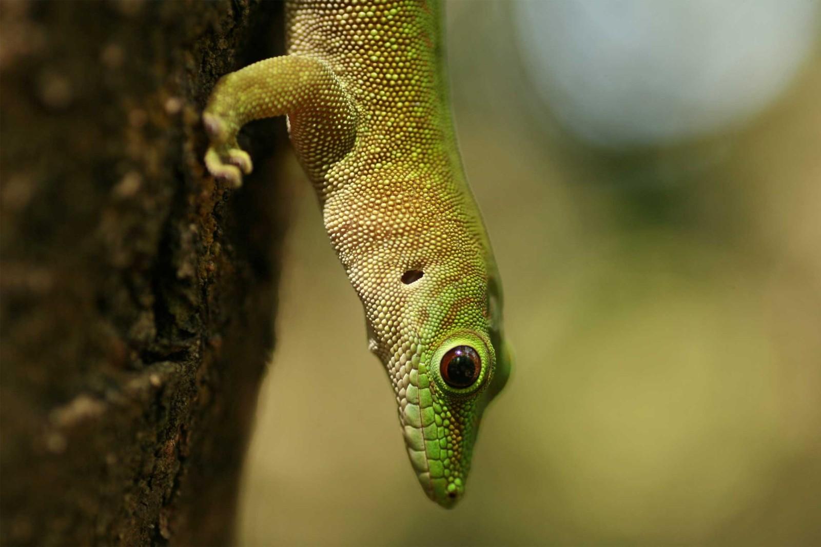 madagascar-wildlife-tours_tour_aye-aye-and-i_day-gecko