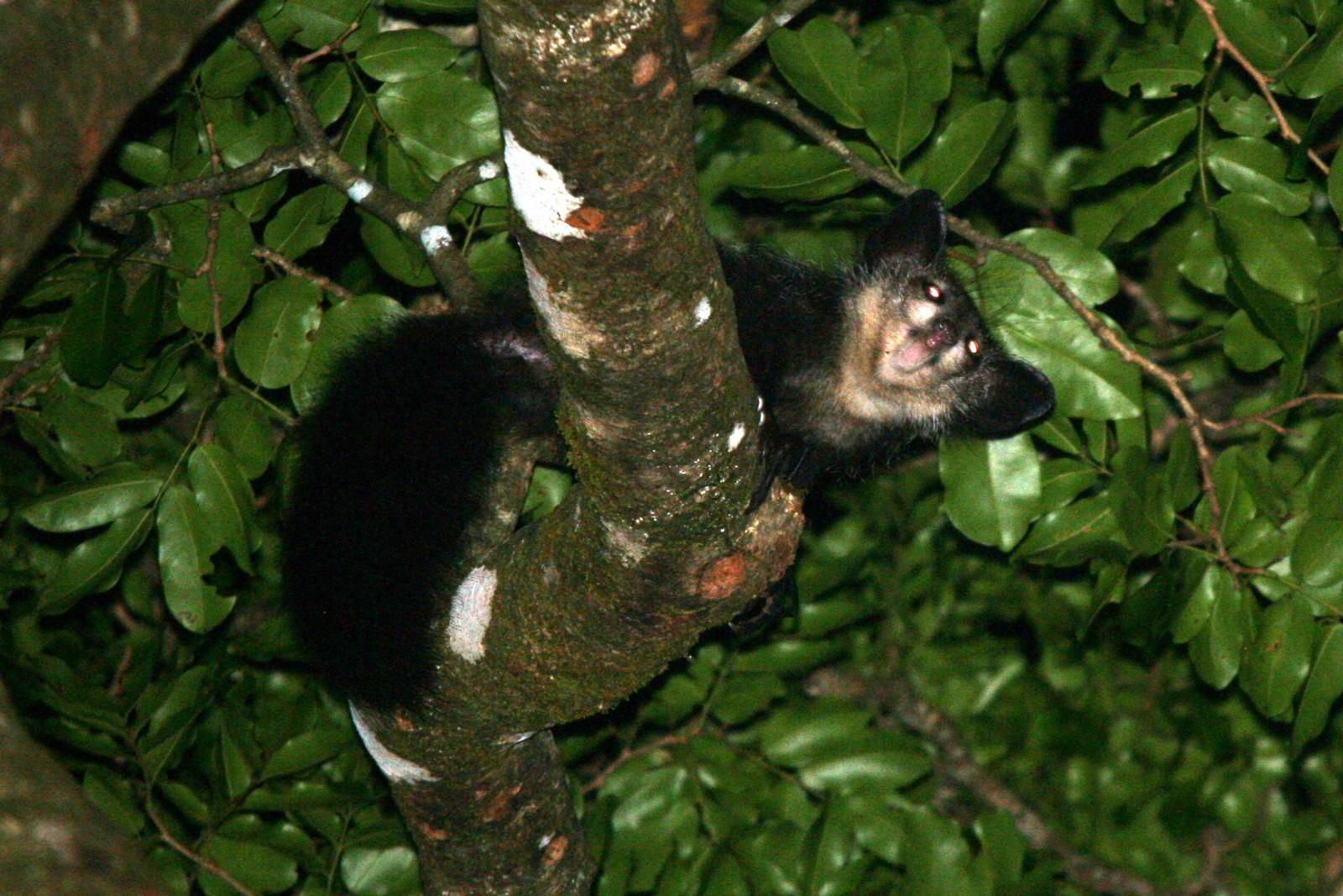 madagascar-wildlife-tours_tour_aye-aye-2