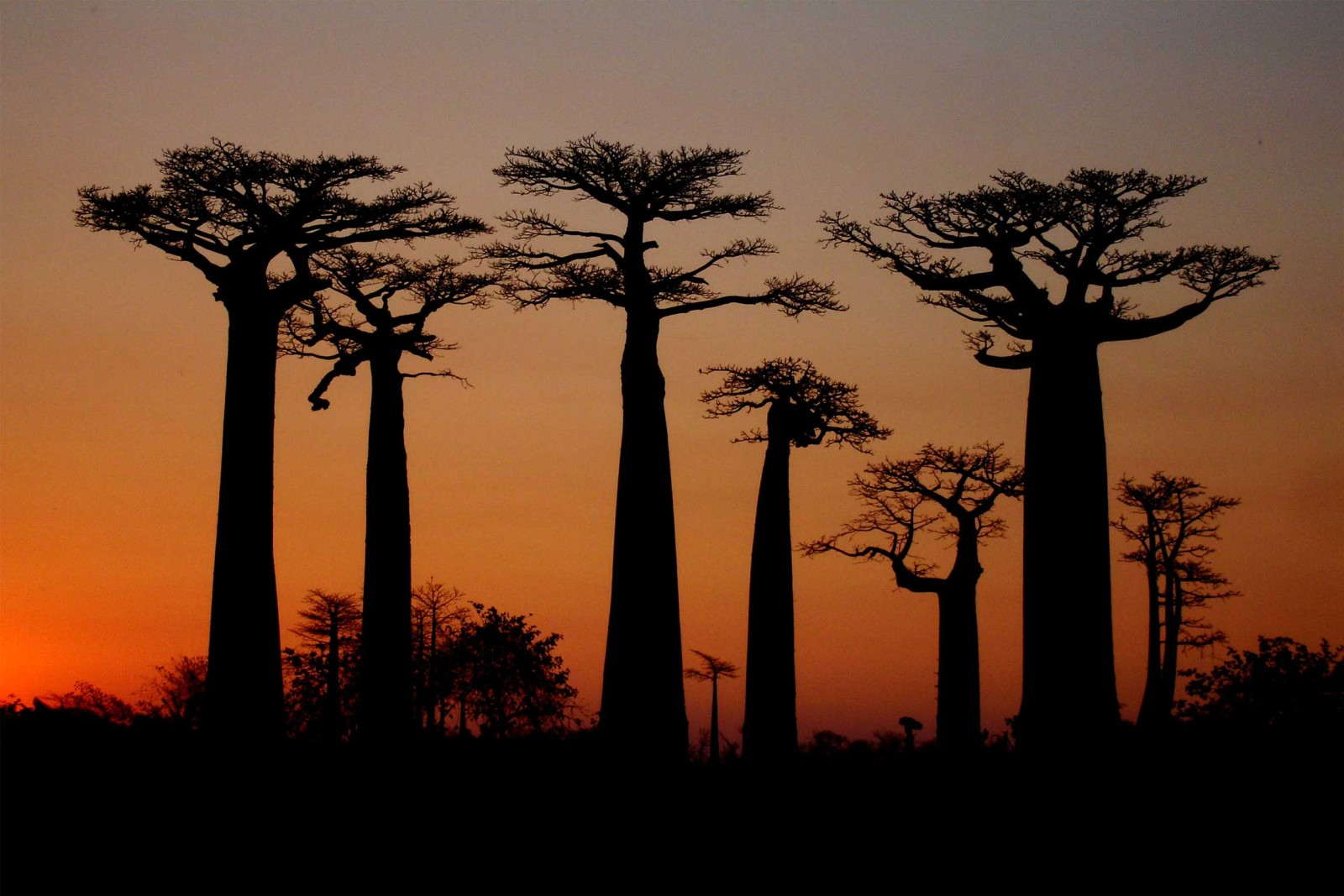 madagascar_tour_tsingy-adventure_avenue-of-baobabs