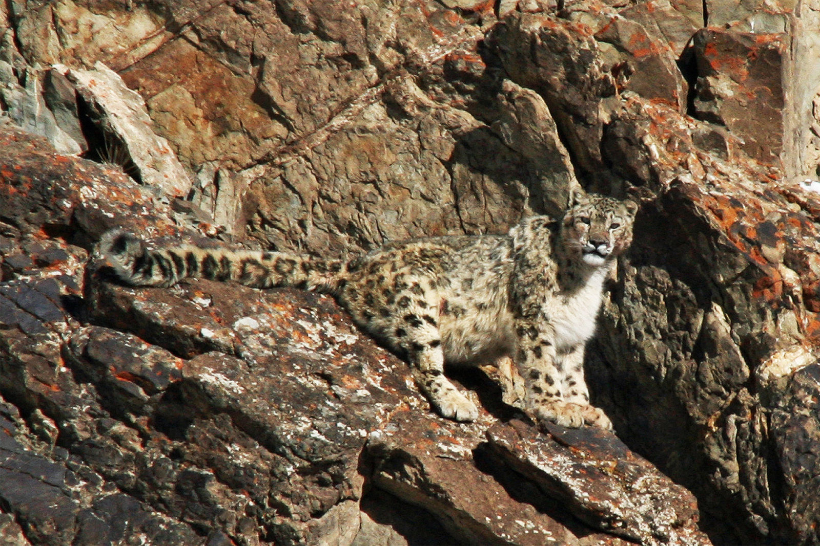 India-Wildlife-Tours_Tour_Snow-Leopard-BEST