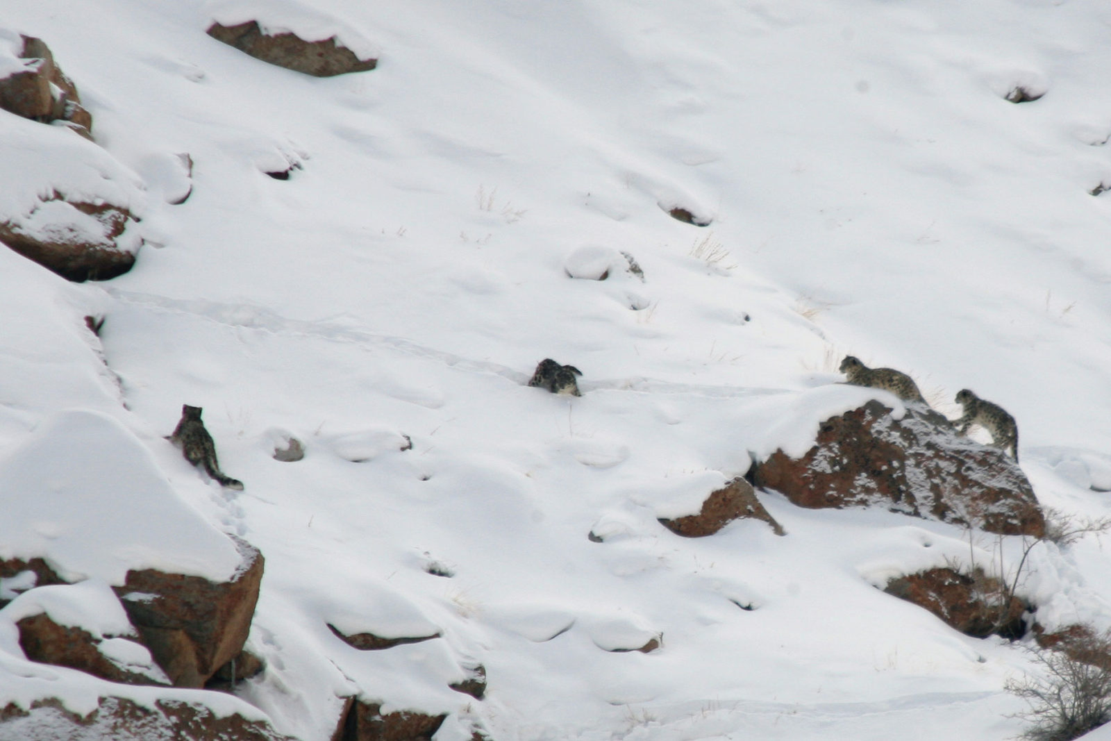 India-Wildlife-Tours_Tour_Snow-Leopard-4-together