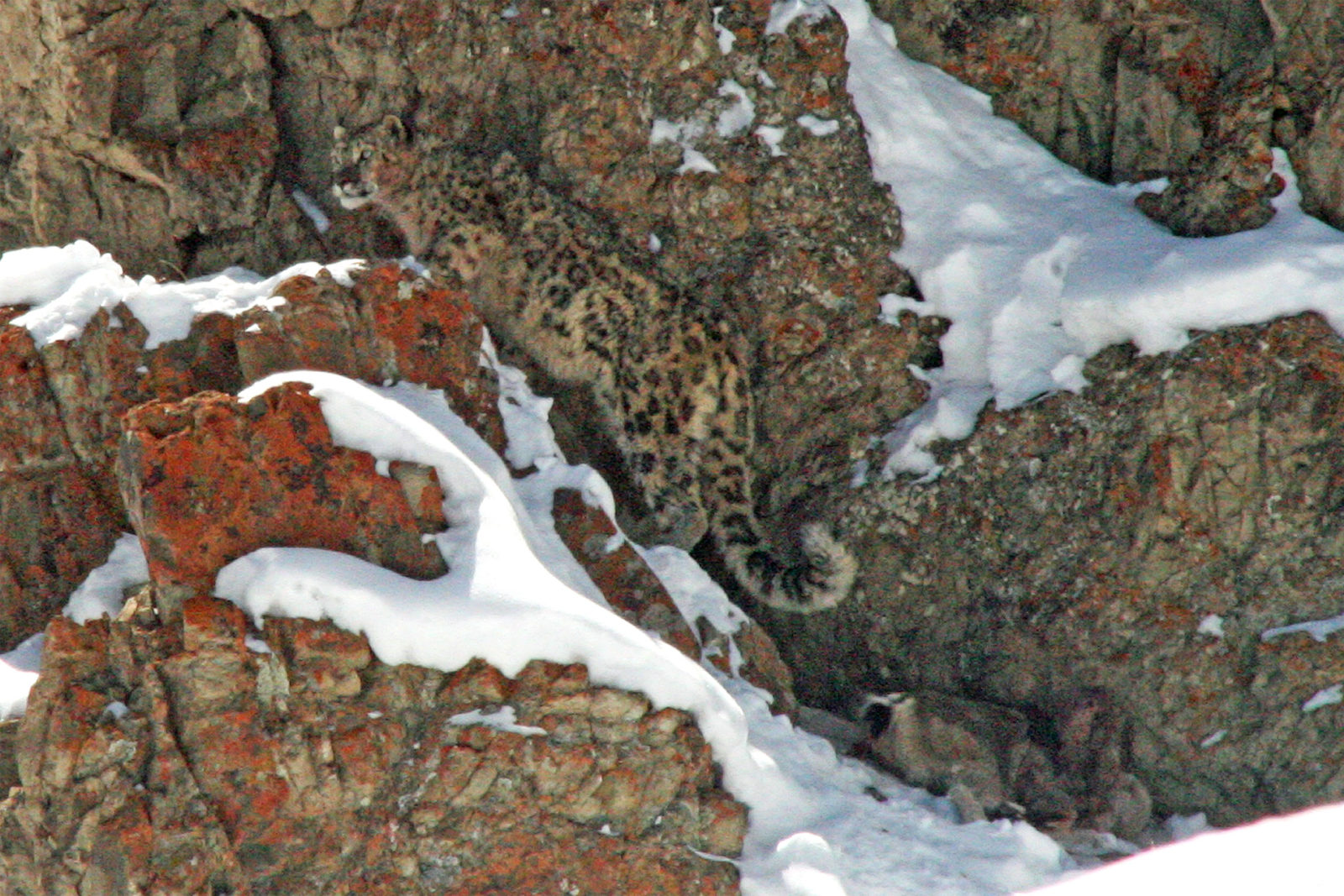 India-Wildlife-Tours_Tour_Snow-Leopard-at-kill-cropped-in