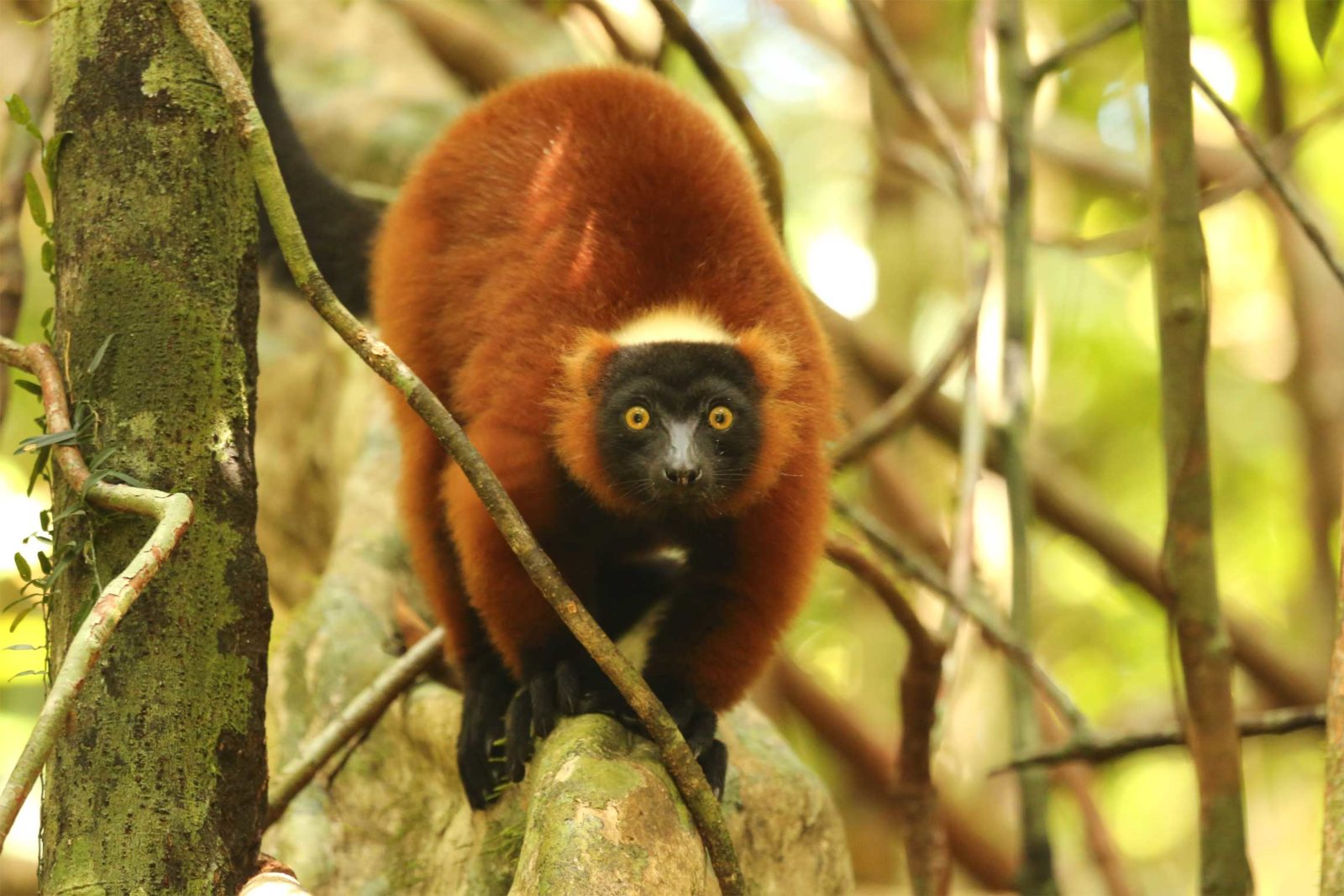 red-ruffed-lemur-Madagascar