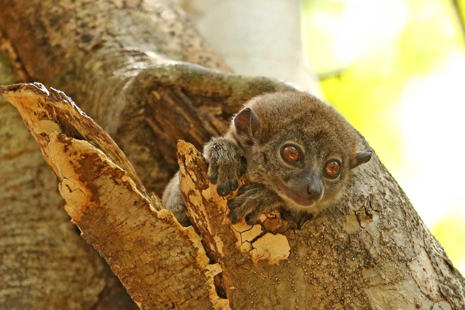 Ankarana-sportive-lemur
