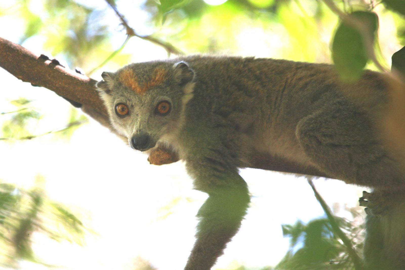 Crowned-lemur-Ankarana