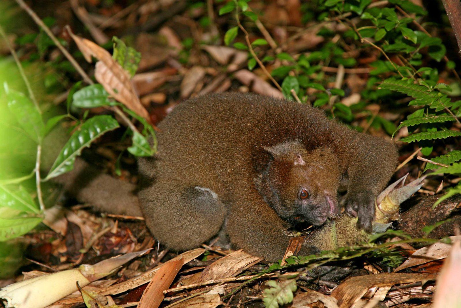 Greater-Bamboo-Lemur