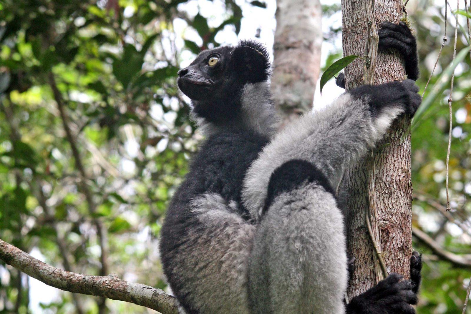 Indri-2