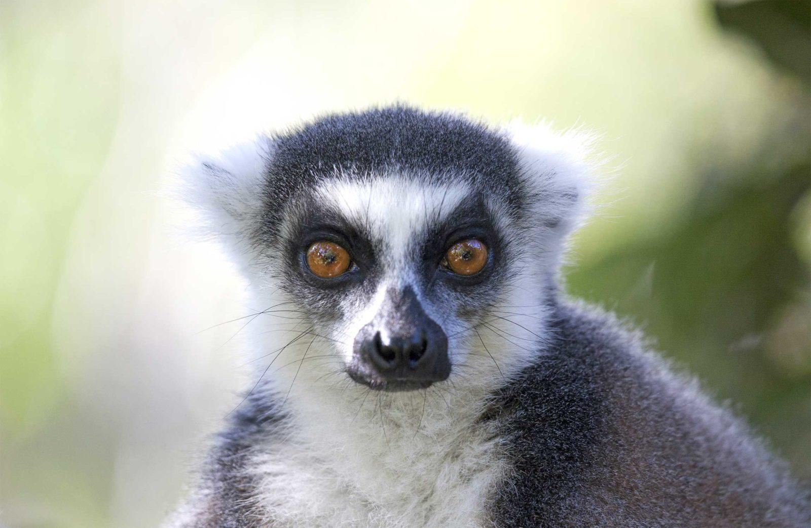Ring-Tail-Lemur-Portarit