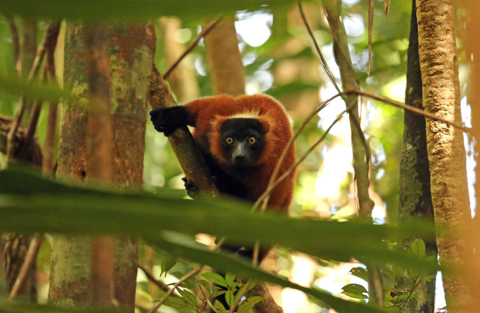 Red-Ruffed-Lemur-in-Masoala
