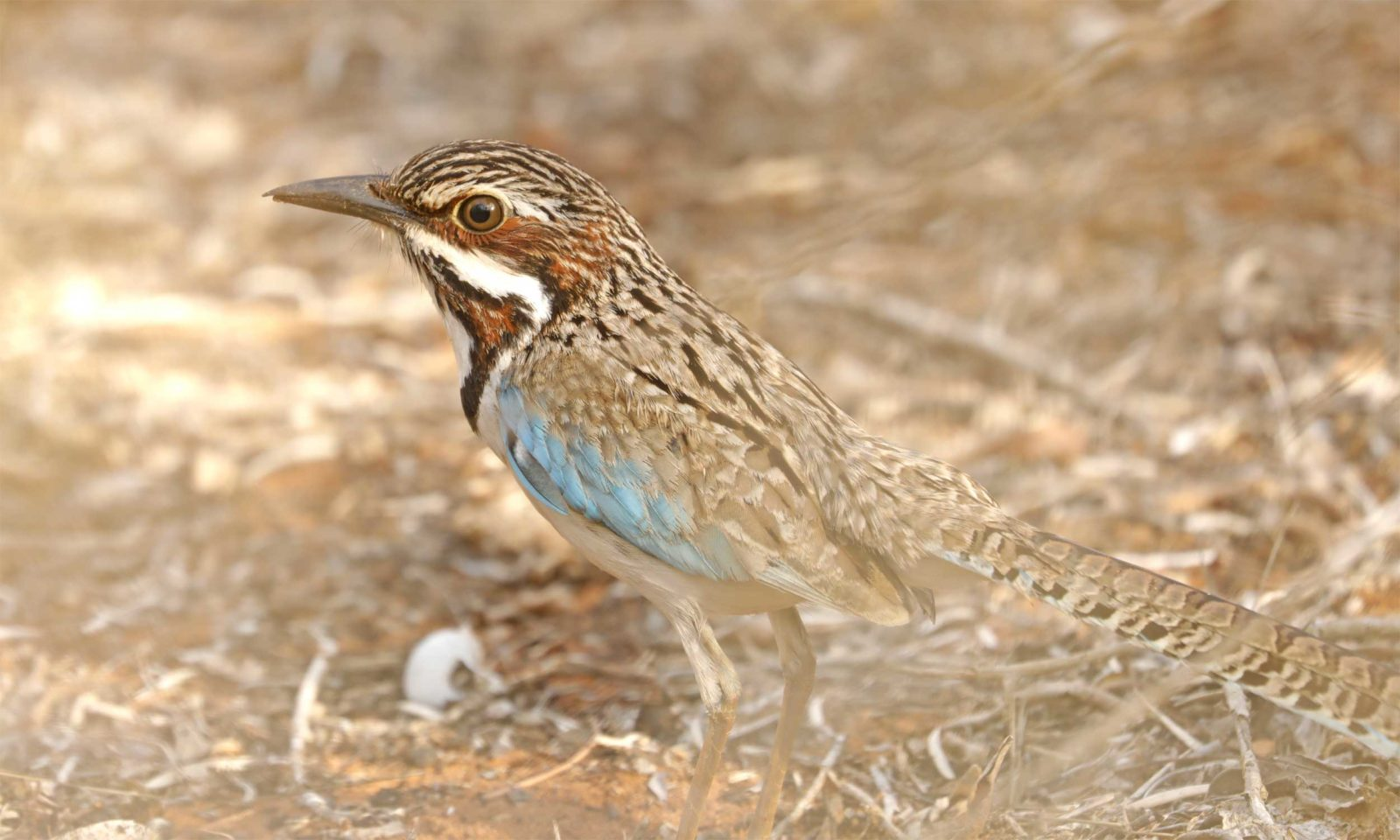 Long-tailed-ground-roller-w