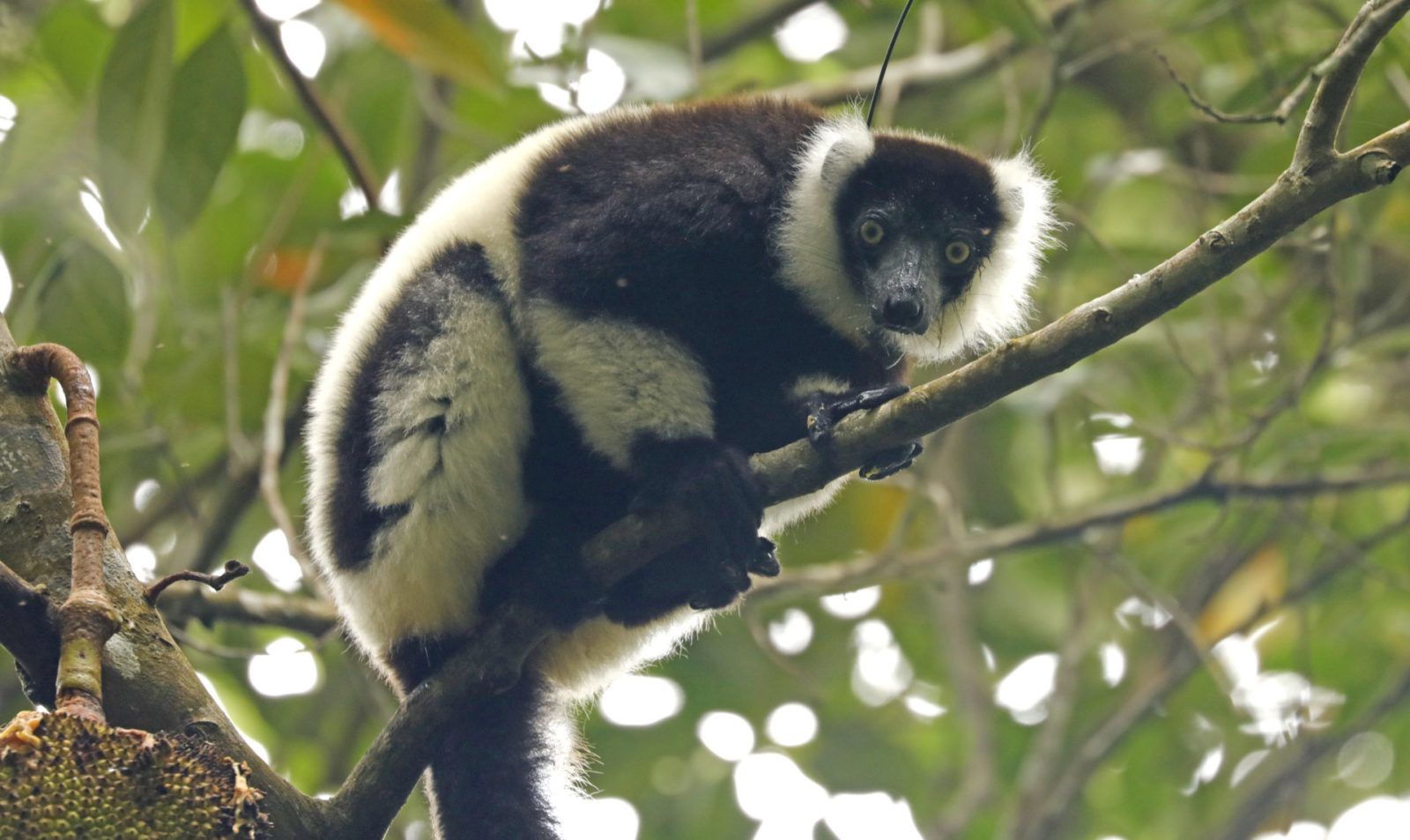 black and white ruffed lemur 2#