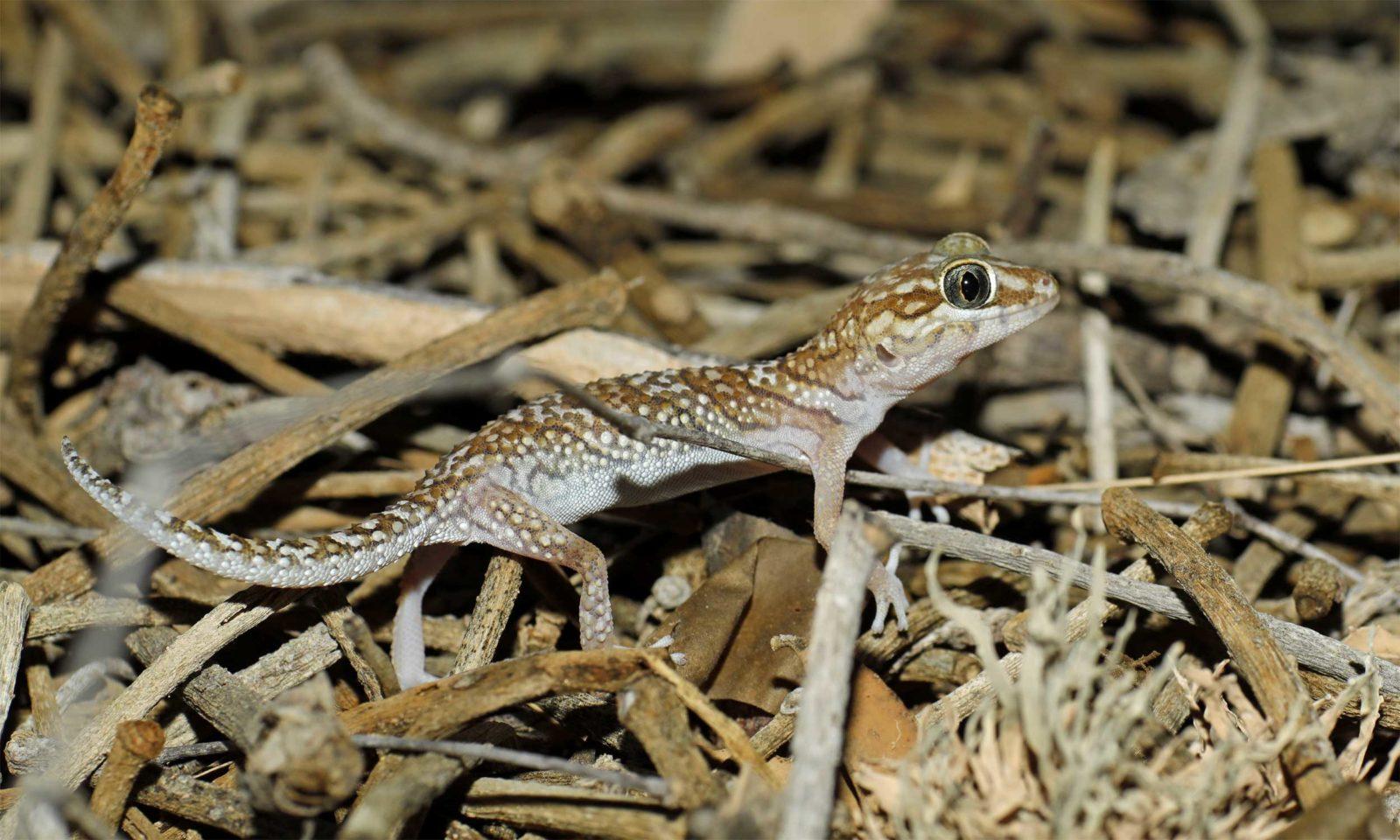 Big-headed-gecko-2-web