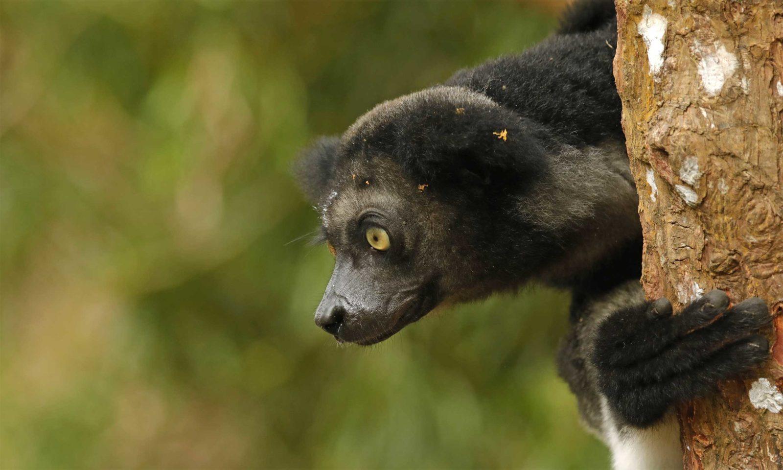Indri-web-2