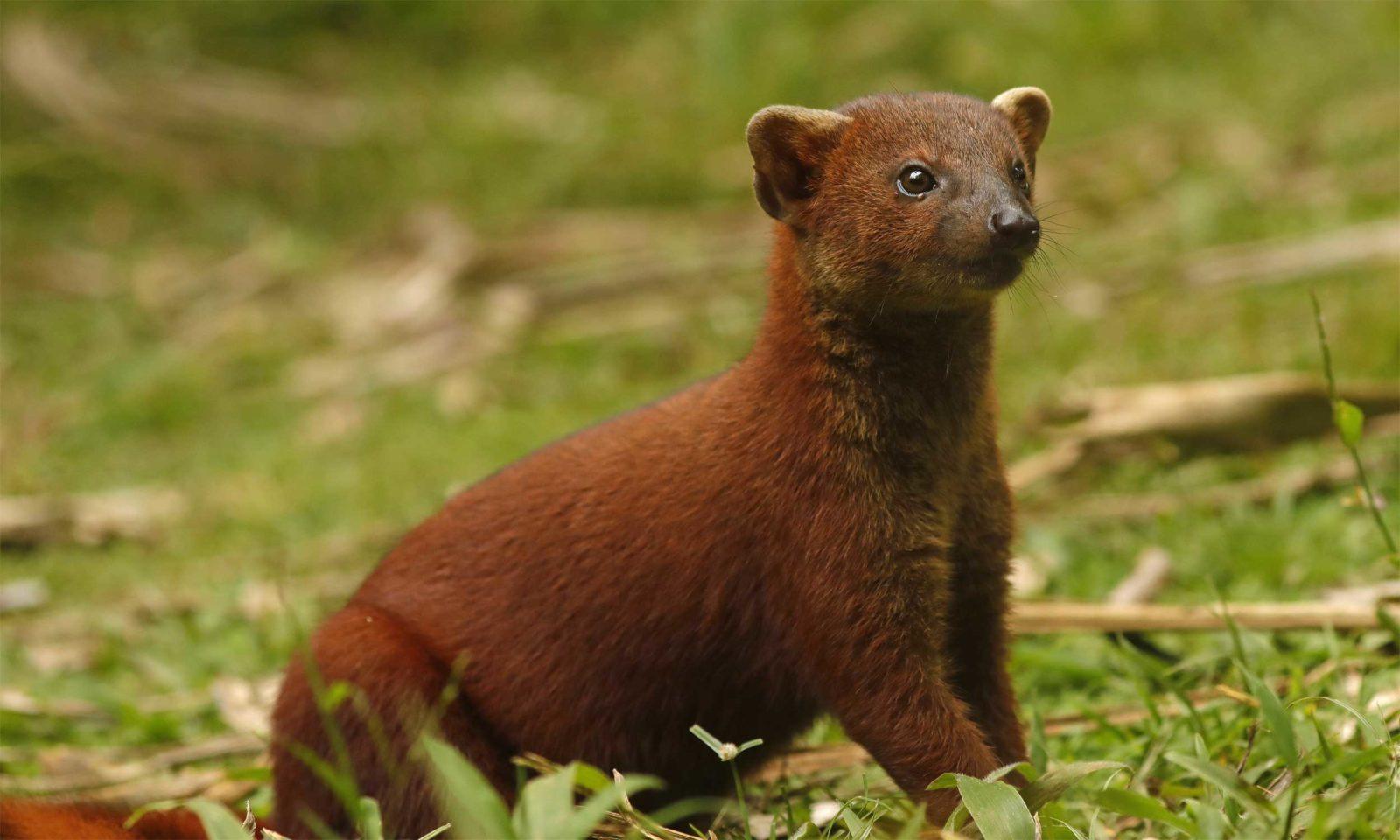Ring-tailed-mongoose-web