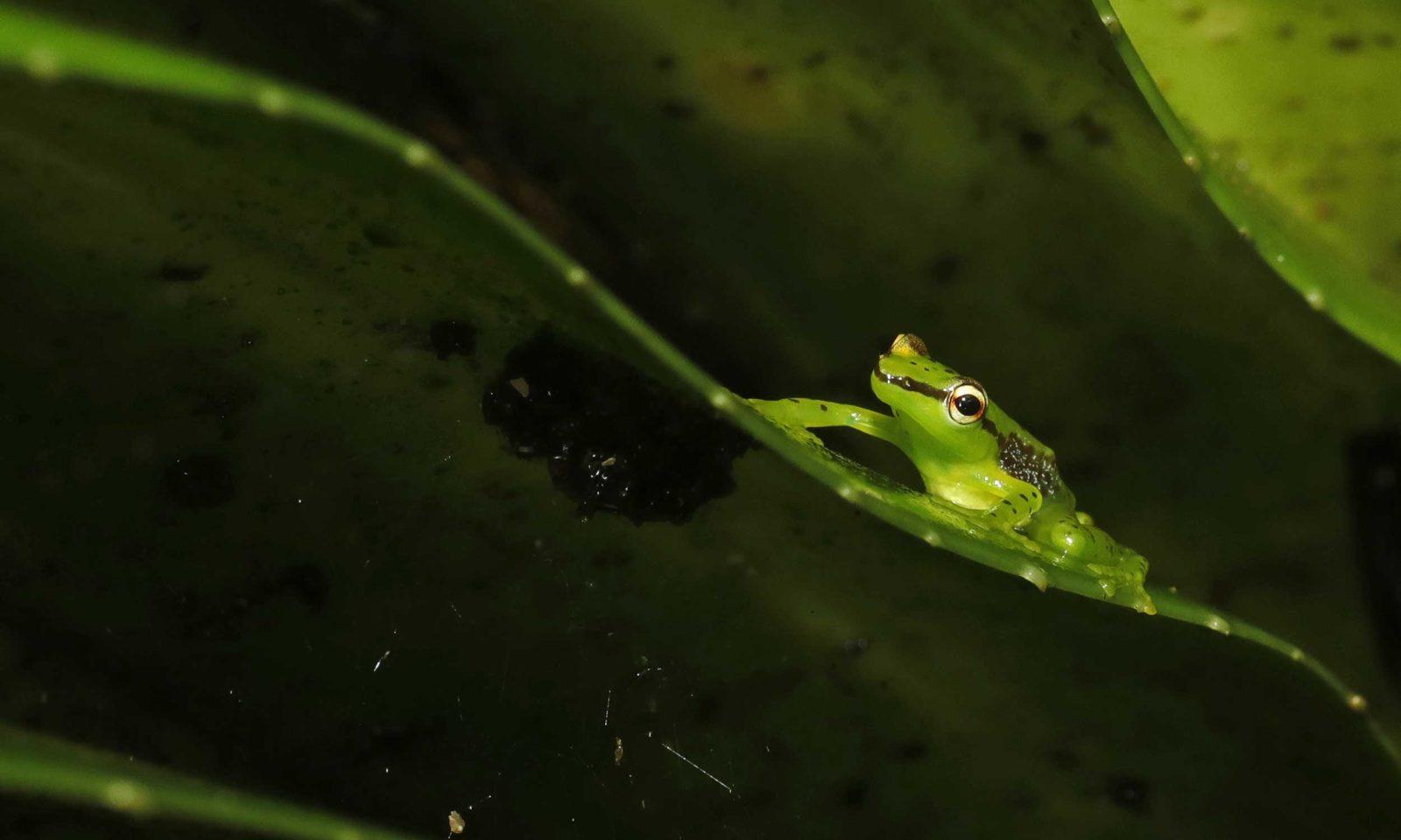 Starry-Night-Tree-frog-web