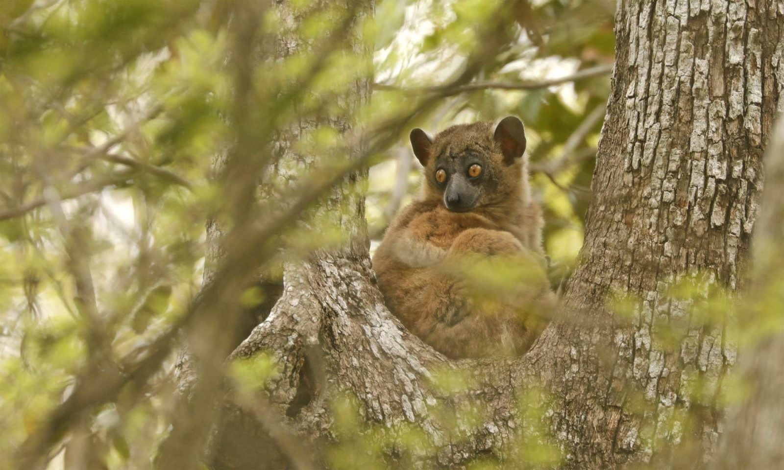 Zombitse-Sportive-lemur-web
