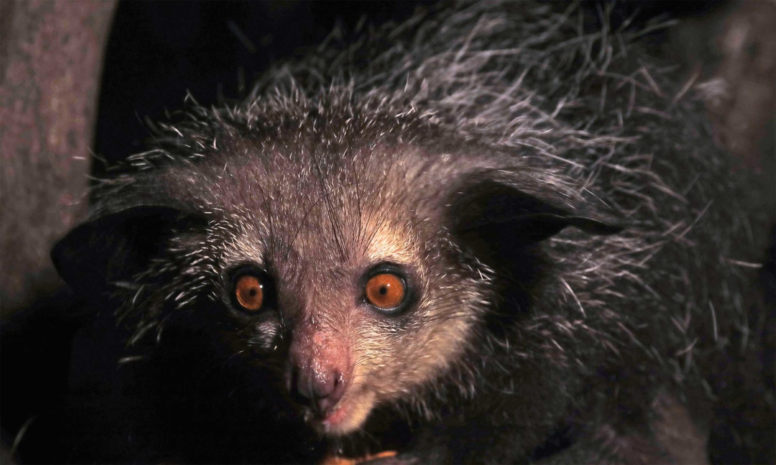 Aye-Aye-WEB-up-close