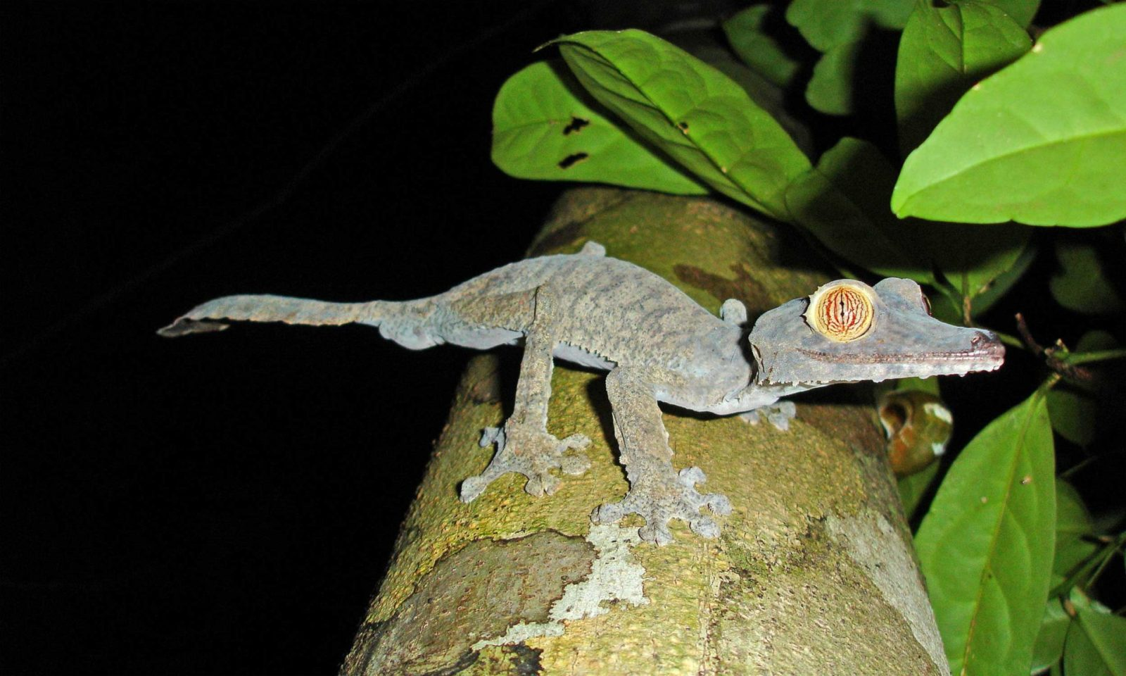 Leaf-tailed-gecko-for-web-1
