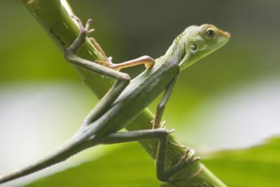 Borneo-Tailormade-Tours-Kuching_Lizard