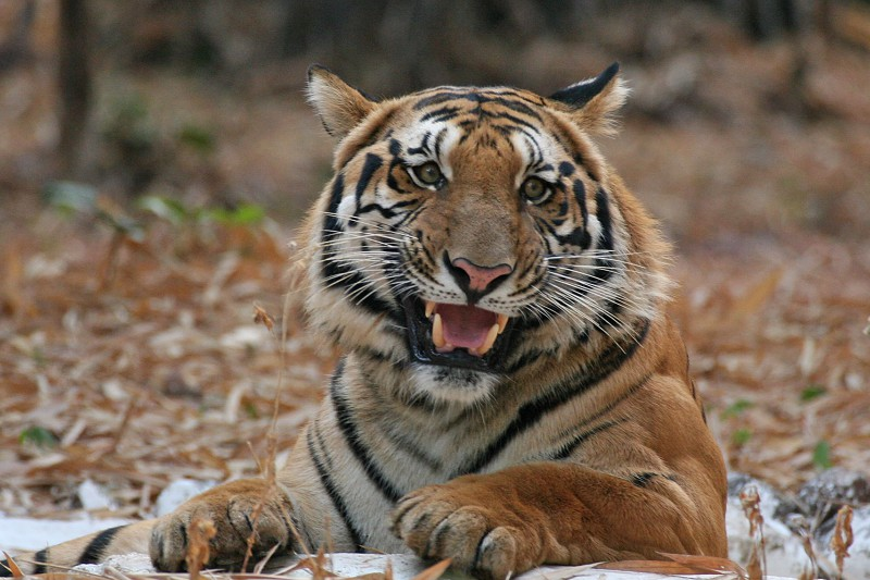 India Wildlife Tours Highlight - Bengal tiger