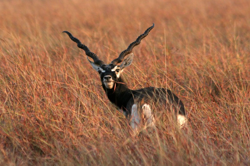 India Wildlife Tours Highlight - Velavadar blackbuck