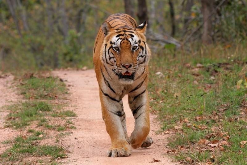 India-Tailormade-Tours-Bandhavgarh-National-Park_Tiger-Approaching