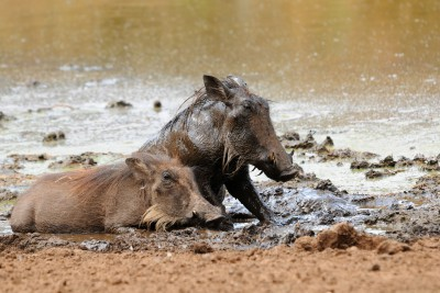 Namibia-Wildlife-Tours-Munduela-Bush-Camp_Warthogs at Lilly