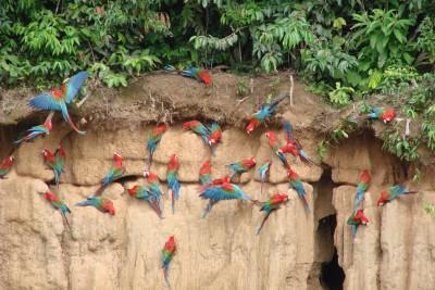Peru-Tailormade-Tours-Manu-Wildlife-Centre_Parots