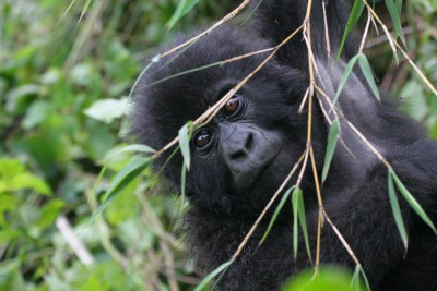 Rwanda-Tailormade-Tour-Itineraries_Gorrilla-Watching