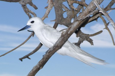Seychelles-Holiday-Tours-Bird-Island-Lodge_Fairy-Tern