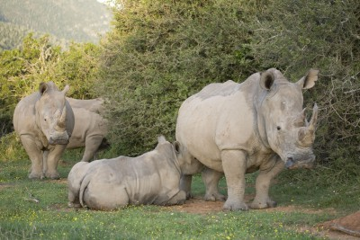 South-Africa-Tailormade-Tours-Bayethe-Tented-Camp_Rhinos