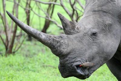 South-Africa-Tailormade-Tours-Manyeleti_Rhino