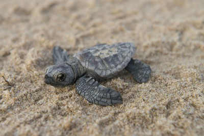 South-Africa-Tailormade-Tours-Rocktail-Beach-Camp_Baby-Turtle