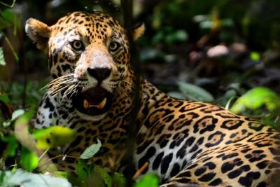 Brazil-Tailormade-Tours-Jaguar-Ecological-Reserve_Jaguar-relaxing