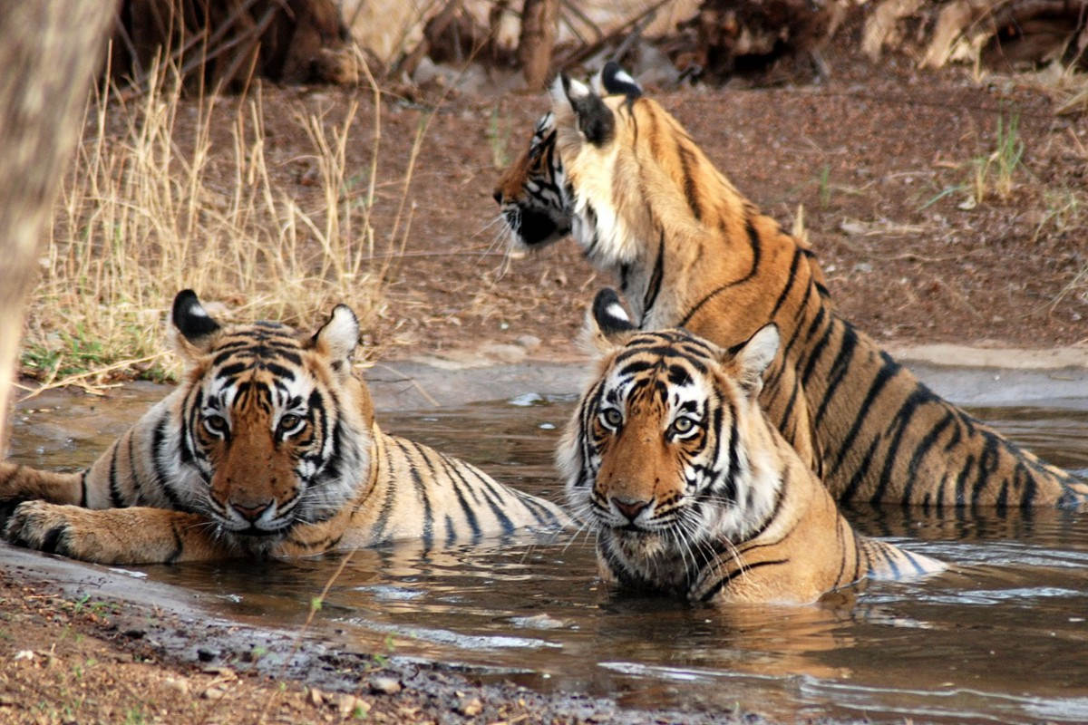 India-Tailormade-Tours-Bhagwan-Mahveer-Wildlife-Sanctuary_Tigers