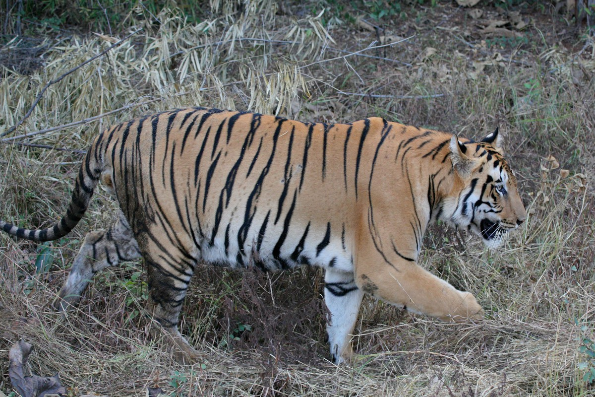 India-Wildlife-Tours-Itinerary-3_Tiger