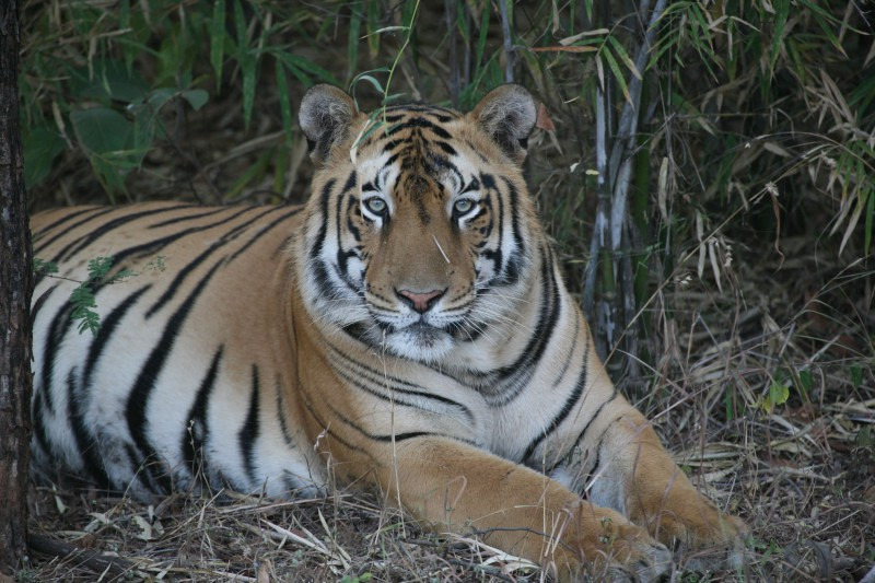 India-Wildlife-Tours-Itinerary-3_Tiger-2