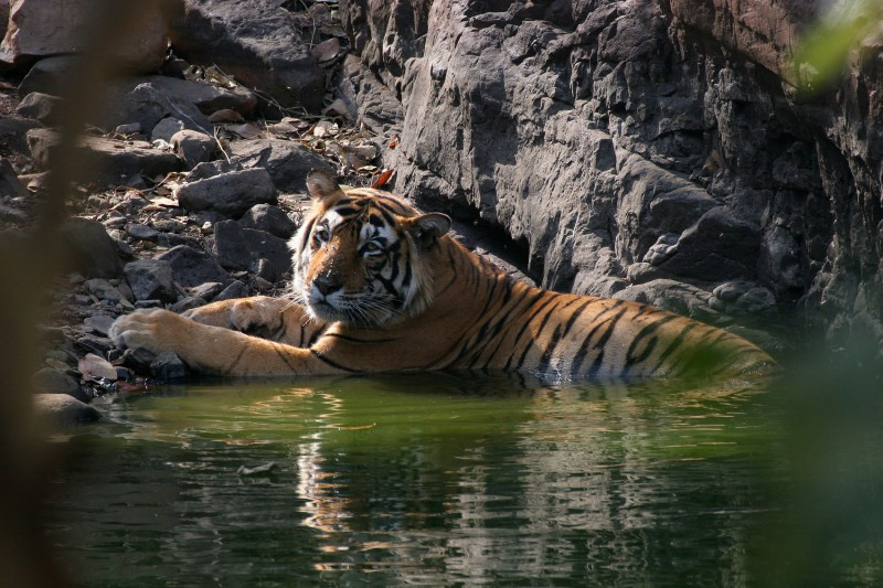 India-Wildlife-Tours-Itinerary-4_Tiger