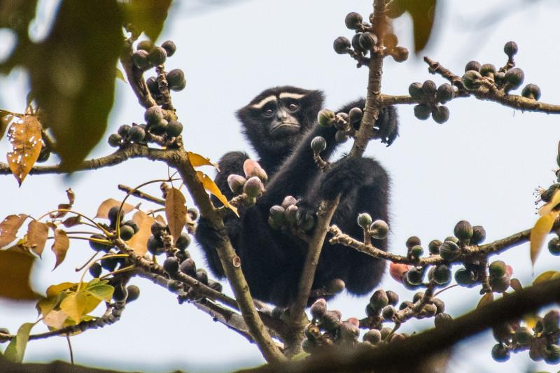 India-Wildlife-Tours_Highlight_Gibbon-Sanctuary