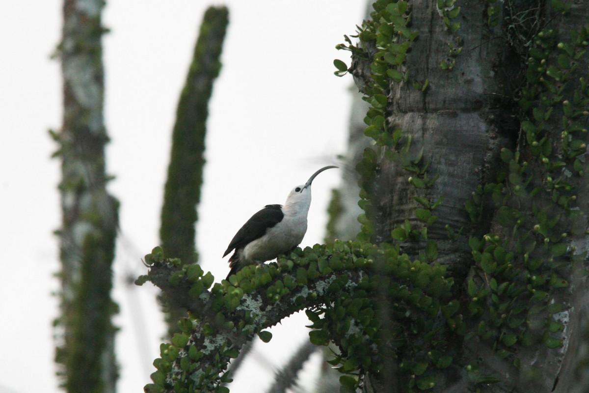 Madagascar-Wildlife-Tours-Iftay_sickle-billed-vanga