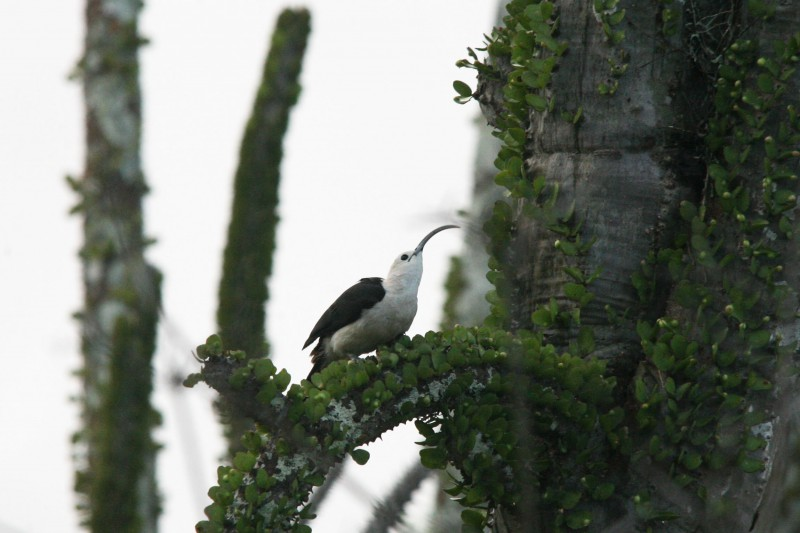 Madagascar-Wildlife-Tours-Iftay_sickle-billed-vanga