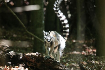 Madagascar-Wildlife-Tours-Itinerary-4_Ring-tail-mother-and-baby