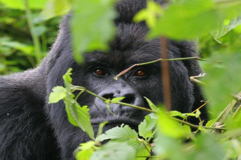 Rwanda-Wildlife-Tours-Itinerary-1_Gorrila-2