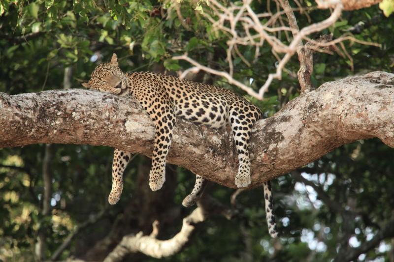 Sri-Lanka-Wildlife-Tours-Wilpattu-National-Park_Sleeping-Leopard