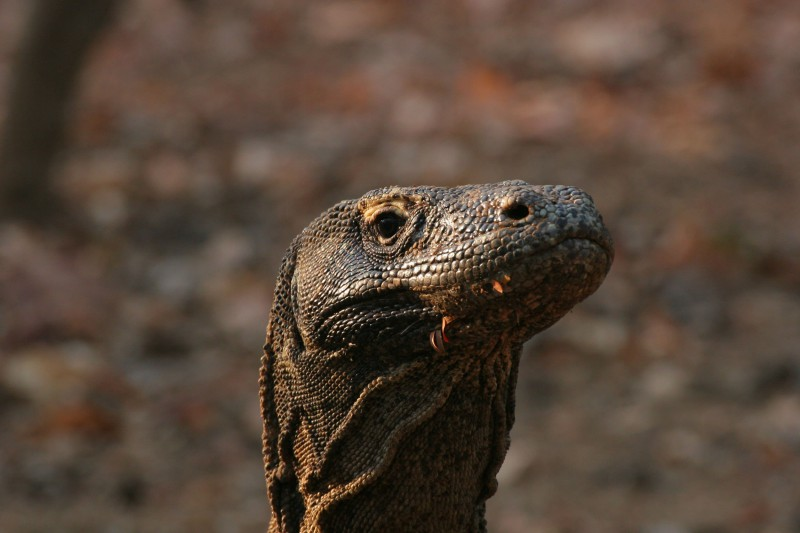 Komodo Dragon - As seen in Rinca on our wildlife tours of Indonesia