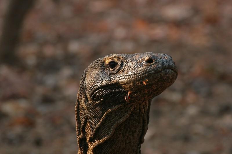 Komodo Dragon - As seen in Rinca on our wildlife tours of Indonesia