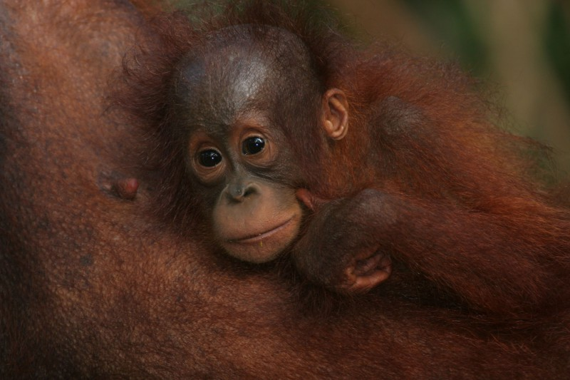 Indonesia-Tailor-made-wildlife-holidays-Itinerary-1_Baby-Orangutan